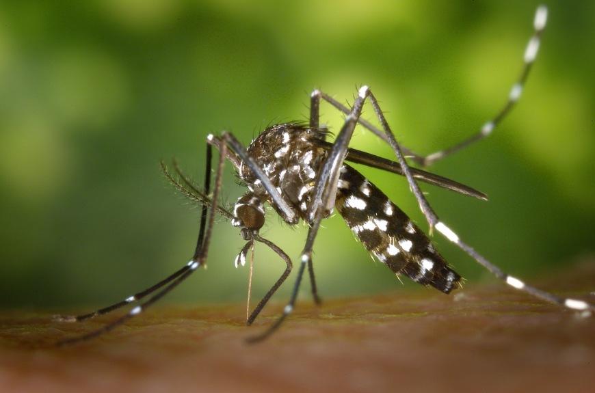 tiger-mosquito-mosquito-asian-tigermucke-sting-86722-2